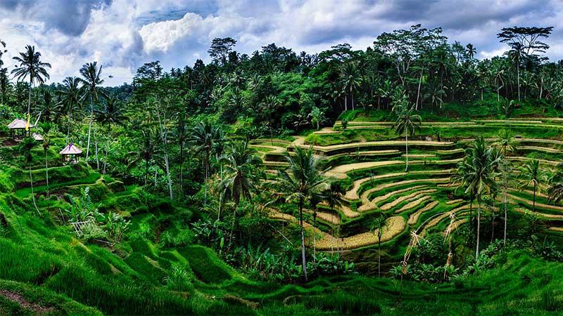 ubud bali tegalang rice fields