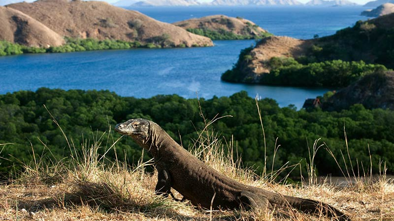 National parks in Indonesia: Komodo dragon with a view from Rinca island