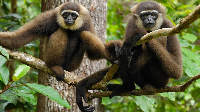 National parks in Indonesia: Gibbons are common at Tanjung Puting
