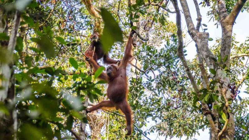 National parks in Indonesia: Orangutans roam freely at Camp Leakey