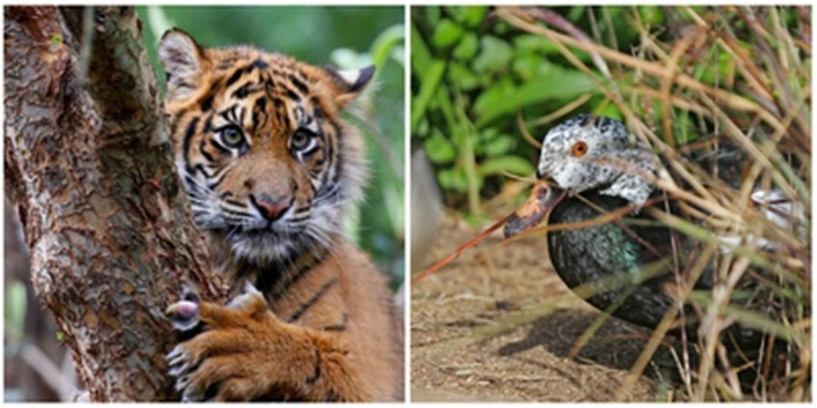 National parks in Indonesia: Sumatran tiger and white-winged wood duck at Way Kambas