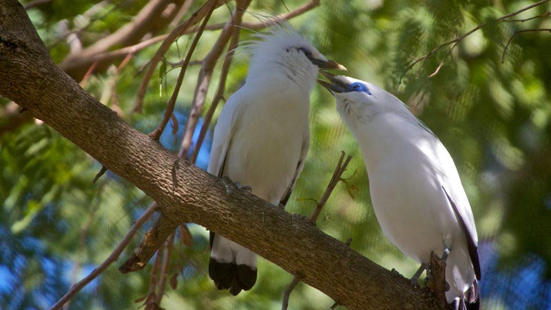 National parks in Indonesia: Bali starling at West bali national park