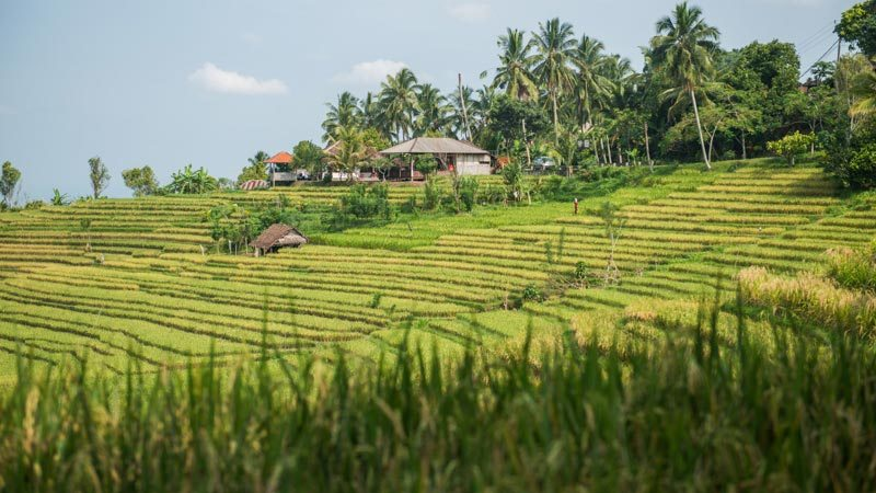 Rice fields bali: Belimbing rice fields in West Bali