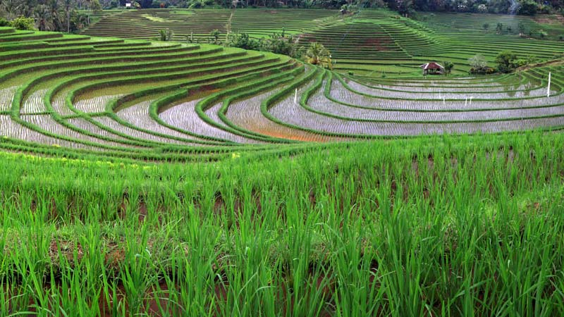 Rice fields Bali: Belimbing rice fields are located in Tabanan, West Bali