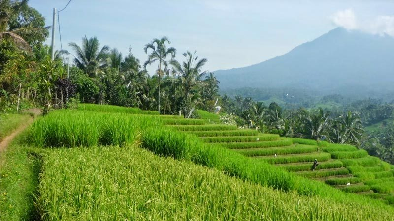 Rice fields Bali: Belimbing rice fields are only an hour's drive from Kuta