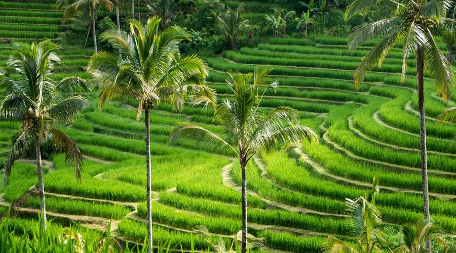 Jatiluwih rice terrace in Tabanan regency in Bali