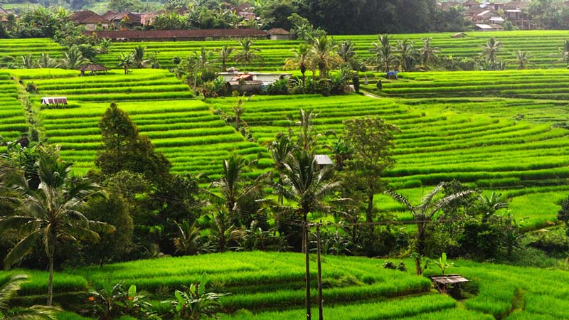 Rice fields Bali: Pupuan rice terraces are a vision of old-school Bali
