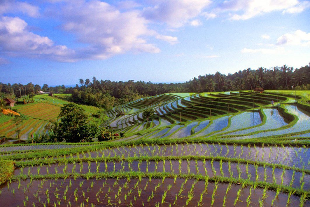 Rice fields Bali: a beautiful view over the rice fields at Pupuan