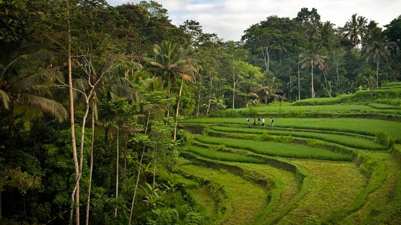 Rice fields in Bali: Ubud is a heaven for rice field fanatics