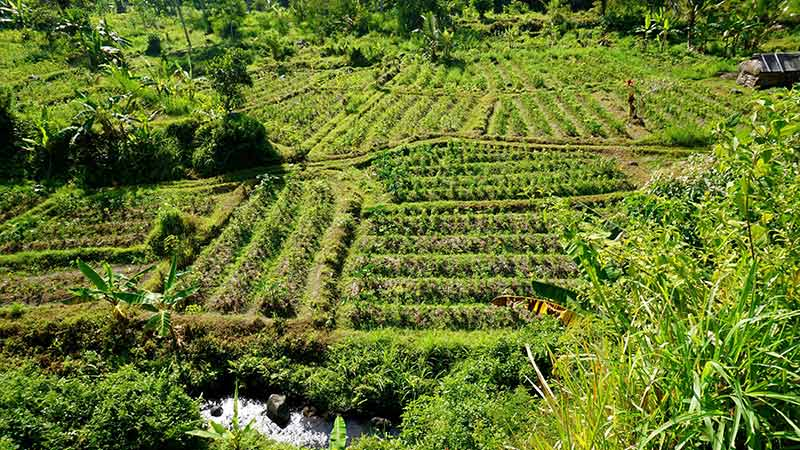 Rice fields Bali: There are many coffee and cocoa plantations alongside Sidemen rice paddies