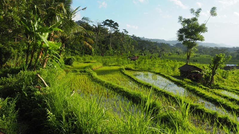 Rice fields Bali: Rice terraces, palm trees and mossy river beds in Sidemen