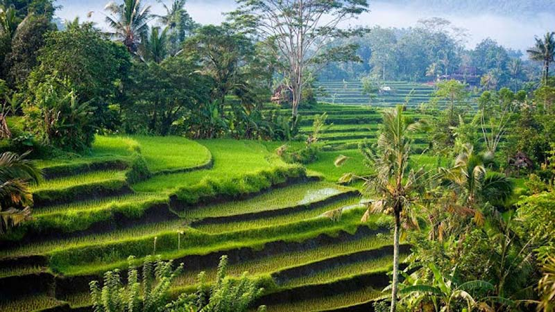 Rice fields Bali: Tegallalang rice terraces are located only 9 kilometres from Ubud