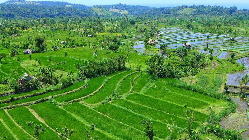 Rice fields Bali: Tirta Gangga rice fields are located nearby the coastal towns of Amed and Candidasa